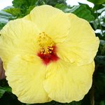 beautiful hibiscus on the grounds