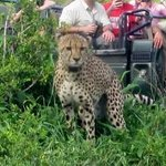 Ross, one of our guides, explaining cheetah behavior.