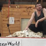 Shearing a sheep at the show