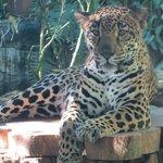 Female Jaguar which are hidden in the jungles of Costa Rica