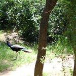 Peacocks in the backyard