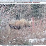 Moose: local wildlife