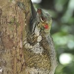 the remarkable colugo or