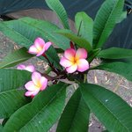 Beautiful frangipani in garden border