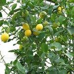 Un joli citronnier dans la cour