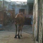 Village camel