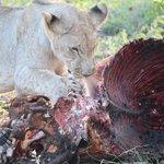 Lion cub getting his portion