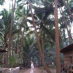 Coconut plantation at Osari