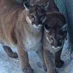 Resident California Mt Lions