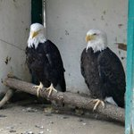 Rescued Bald Eagles