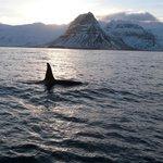 Male Orca Grundarfjorder with Laki Tours