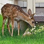 A fawn in the spring.
