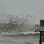 starling approaching Pier