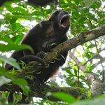 Our neighbors: Howler monkeys...