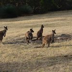The Kangaroos just outside the homestead