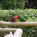 A pair of Eclectus that followed us all over the park.