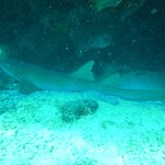 nurse shark sleeping