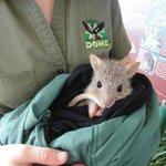 ネズミカンガルーの赤ちゃん