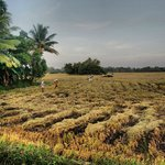 rice fields being harvested
