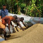 bagging the rice for transport