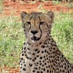 Cheetah - amazing sightings!