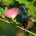 Male Purple Sunbird on one of the powder puff plants inside nature's nest