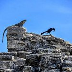 crow and iguana worshipping the sun on top of El Rey Ruins in Cancun