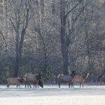 Elk on the parkway