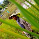 Our guide in the rice field