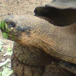 giant tortoise eating his lunch