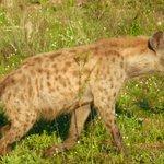 Hyena - fierce!