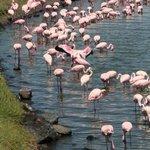 Flamingos in Arusha Nat. Park
