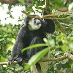 Monkey in Arusha Nat. Park
