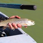 Trout on the San Juan River