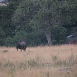 Rhino in Bushcamp