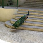 Peacock's walking the grounds