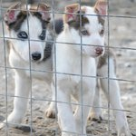 Svalbard Husky Photo