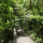 Elevated walkway Kauri Forest