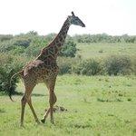 L'eleganza della giraffa