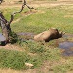 Leroy the male Rhino