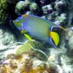 queen angel fish near reef in front of ABH