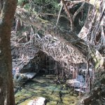 Root bridge, severl hundred years old and alive
