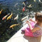 Koi fish feeding at Sheraton Koi Fish Pond