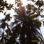 Banana Palm at Sahakari Spice plantation