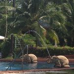 Elephants by the pool