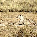 Amboseli Lion