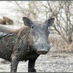 Dirty Warthog