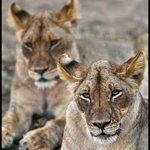 Dozing Lions