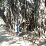 an old banyan tree in the garden of pataleshwar temple