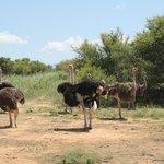 Ostriches at Safari Ostrich Show Farm